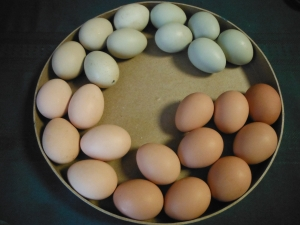 Here is a few days worth eggs in the various colors.  Some colors are not shown here, they have been used for crafts :)