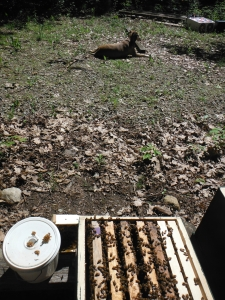 The feeding pail is to the right of the hive.  Our dog Honey is in the background.