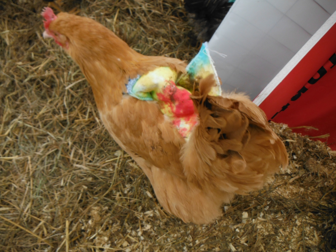 Henrietta #1 with her cool hen saddle.