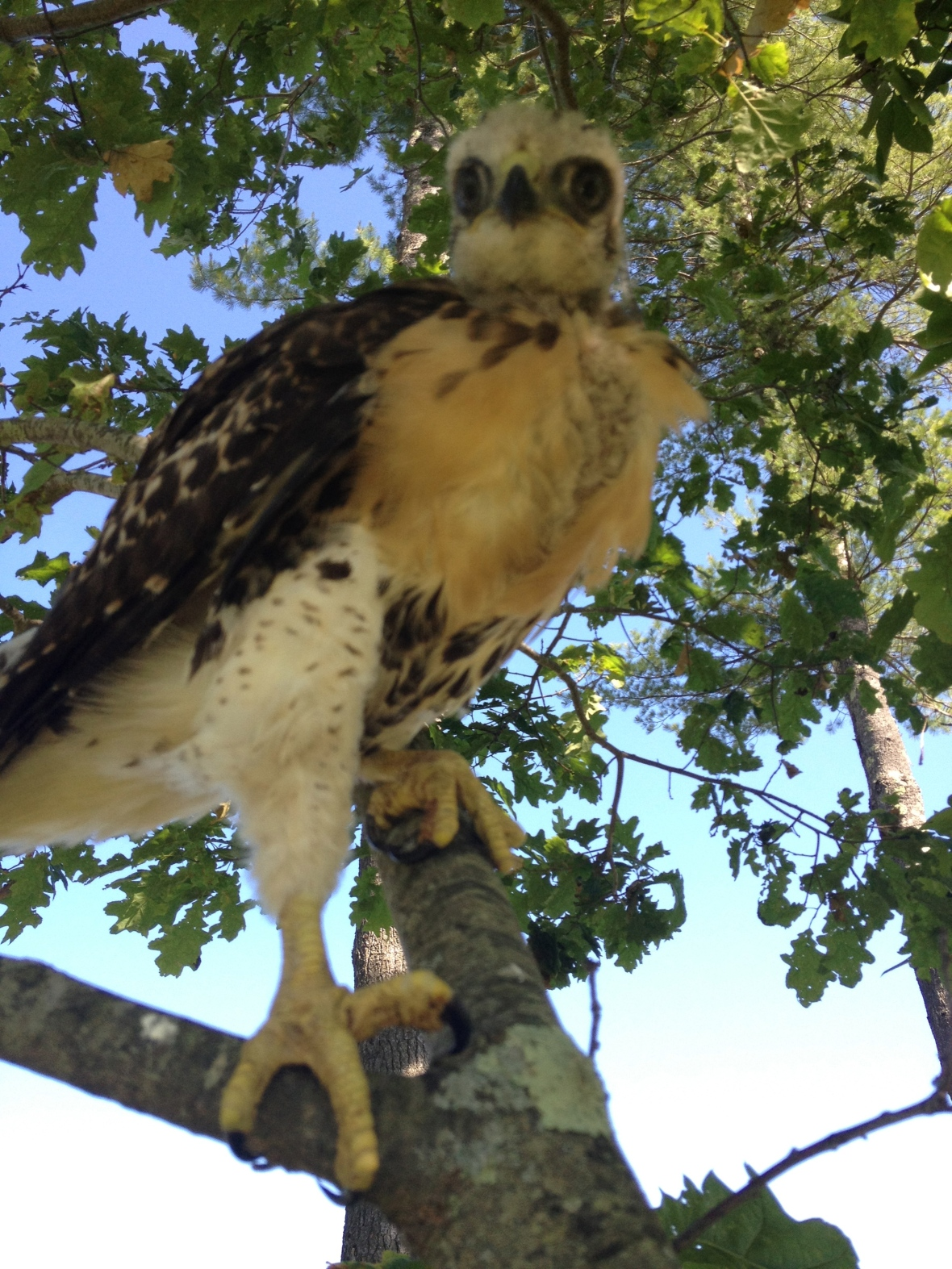 I am pretty sure he made it as the number of hawks at the golf course increased by 2 :) (he had a sibling who DIDN'T fall out of the tree.)
