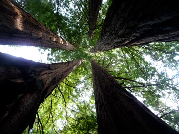 Looking up from the middle of a cathedral, a circle of trees who share the same root system.