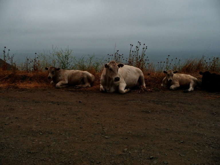 Cows on the side of the Pacific coast highway in Mendocino.  Just hanging out in a pull out.