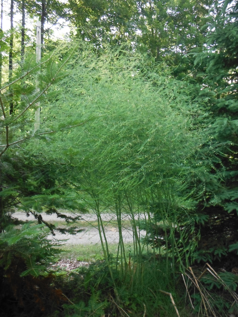 Bet you didn't know asparagus looked like this if you let it grow.   I never did.