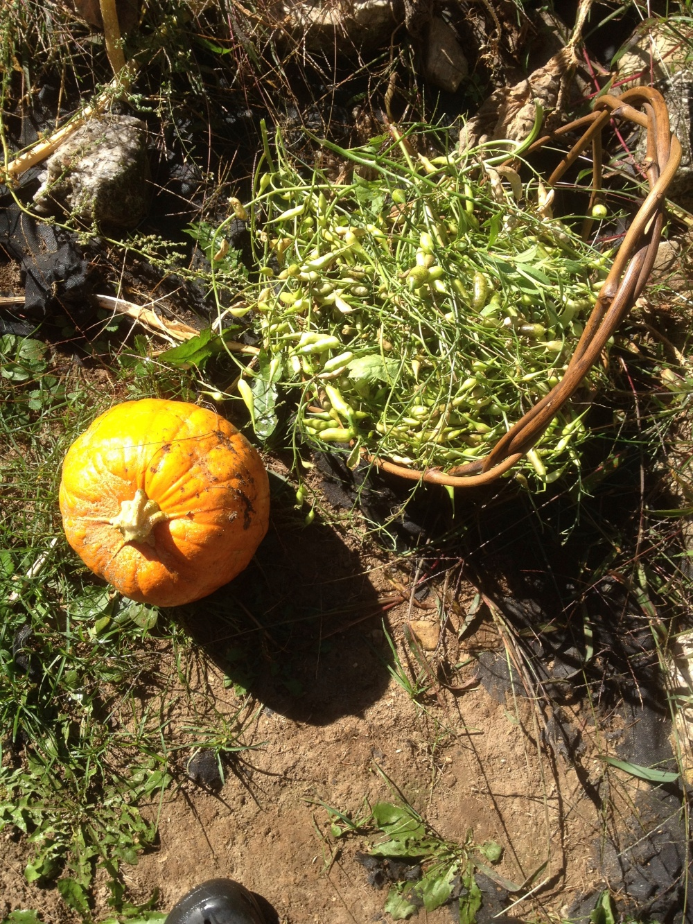 More pumpkins and radish seed pods.