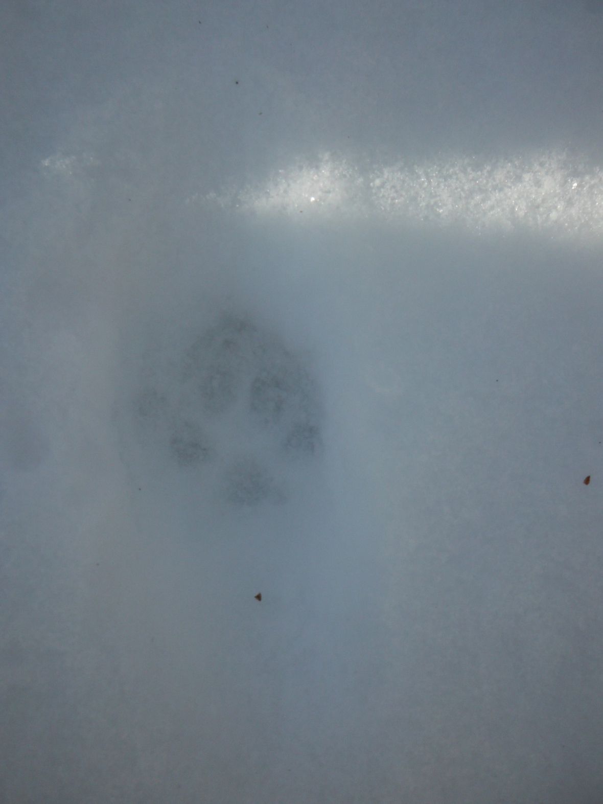 Fox, you can see the nail print above the left lead toe.