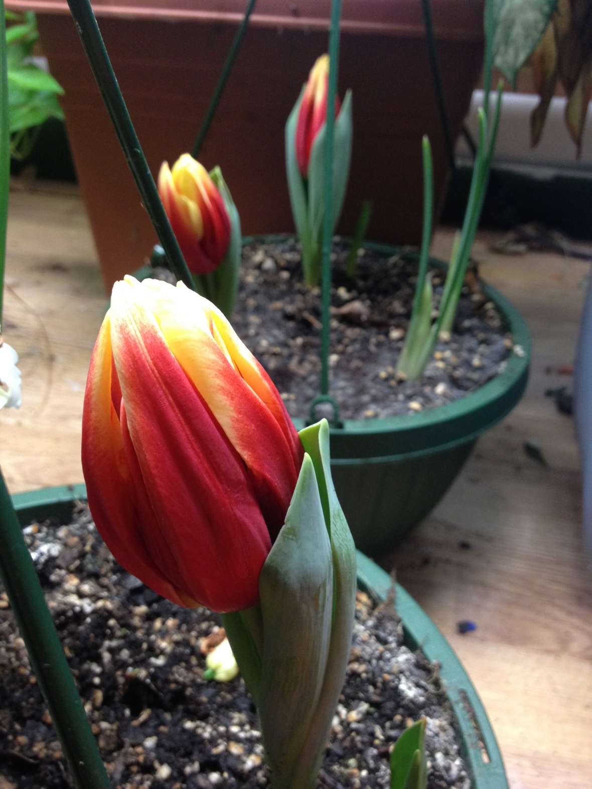 These just started to bloom yesterday, there tulips for my three men.